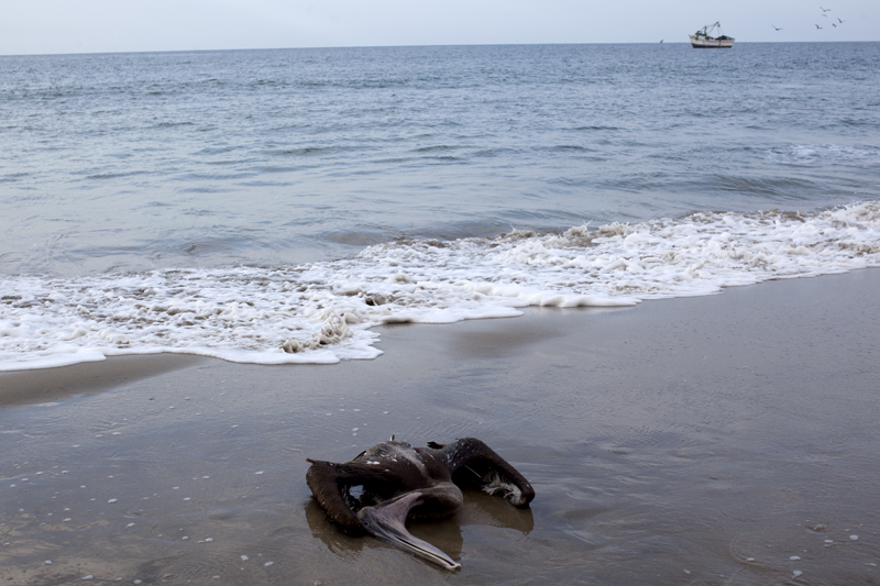 A pelican that died before my eyes within minutes on Las Pocitas beach in Mancora, Peru.